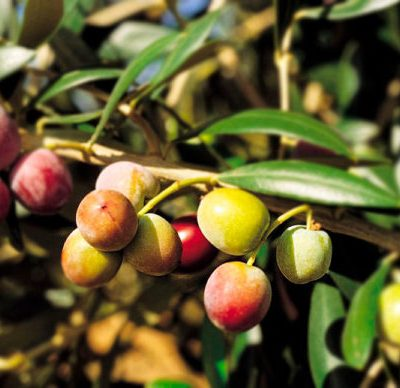 oliva-arbequina-cosecha-les-garrigues-600x388